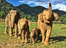 Baby elephant, Dok Rak, enjoys the very first walk outside with his loving family  #Elephant Nature Park #DokRak #ENPHerd