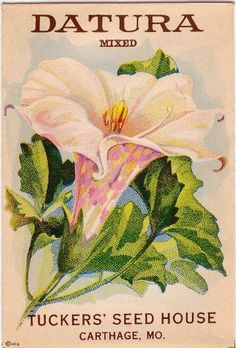 Items similar to DATURA! (Angels' Trumpet) Vintage Flower Seed Packet Tuckers Seed House Lithograph (Carthage, Missouri) on Etsy Vintage Diy, Vintage Labels, Vintage Ephemera, Vintage Postcards, Vintage Images, Graphics Vintage, Printable Vintage, Vintage Paper, Seed Art