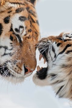 Two Tigers.