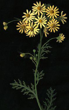 "Mary Delaney,""Ragwort,""paper mosaic,1782…………crashinglybeautiful:    Mary Delany, ""Ragwort,"" paper mosaic, 1782. (from: uncertaintimes, heracliteanfire via: British Museum)"