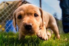 Hello World Labrador Retriever, Dogs, Animals, Labrador Retrievers, Animales, Animaux, Animal Memes, Animal, Pet Dogs