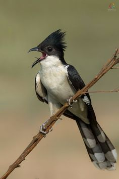 Common Kingfisher, Black Eagle, Beautiful Birds, Sri Lanka, Africa, Animals, India, Bird Species, Hummingbirds