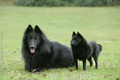 Belgian sheepdog and Schipperke.  Precious!i love these dogs, i remember seeing them on the barges