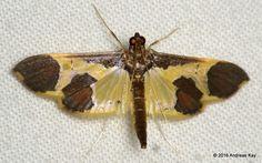Snout moth, Syllepis sp.