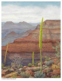 Julia Loken-Kaibab Century Plants in the Grand Canyon- Watercolor on Paper-14 3/4 x 11 1/2 inches- at the Gerald Peters Gallery, Santa Fe.
