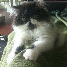 Persian kitten, Marco Polo