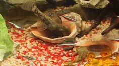 Plecos mating and laying eggs for the second time in a month -  More bab...