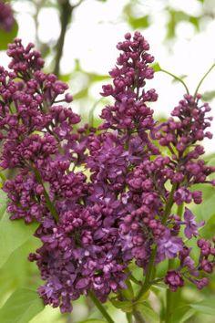 Charles Joly Lilac (Syringa vulgaris 'Charles Joly')