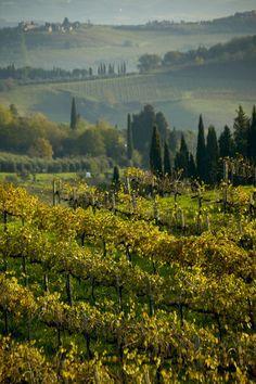 Vineyard, Tuscany, Italy.  Photo: Danita Delimont