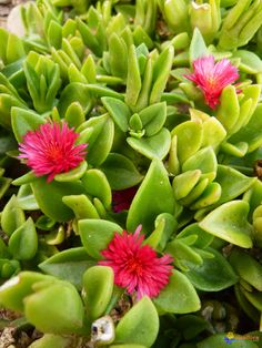 Heartleaf Iceplant, Baby Sun Plant (Aptenia cordifolia)