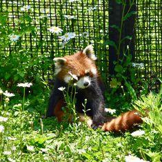 お花が似合うね #ありがとう #円山動物園 #レッサーパンダ #redpanda #lesserpanda #ailurusfulgens #小熊猫 #円実 #またいつか
