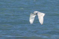 Snowy Owl over water Snowy Owl, Bird, Water, Animals, Gripe Water, Animales, Animaux, Birds, Animal