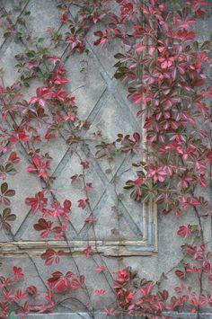 Virginia Creeper Vine, Creepers Plants, Hot Tub Garden, Fence Landscaping, Back Gardens, Tropical Plants, Garden Inspiration, Trees To Plant, Garden Plants