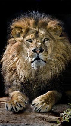iPhone_6S_Plus_King_Lion_Wallpaper.jpg (1080×1920)