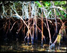 Mangrove! 8 x 10 Print Photograph Plant Woodland Beach Florida Water Bay Plant by Concepts2Canvas on Etsy