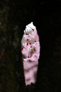 Japanese cherry blossoms: photo by mizuk@, via Flickr