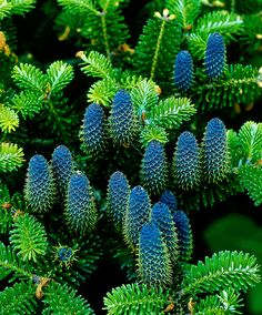 50 pcs/lot rare Korean Fir, Abies koreana seeds woody plant tree seeds bonsai flower seeds DIY home garden plant pot Trees And Shrubs, Trees To Plant, Abies Koreana, Pine Bonsai, Indoor Trees, Tree Seeds, Home Garden Plants, Flower Seeds, Garden Supplies