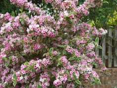 ... Weigela Variegated Im not going on holiday in ...