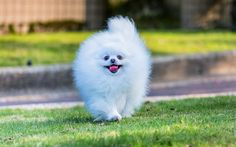 Download wallpapers spitz, white pomeranian, dogs, pomeranian, Japanese spitz, cute animals