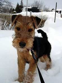 Welsh Terrier Puppy...there's a chance one of these might make it to our house this year.....so stinkin cute!