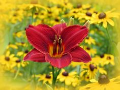 Frankly Scarlet daylily flower stands out against a mass of black-eyed susans at MTBobbins Daylilies in Winchester, New Hampshire. Added vignette.