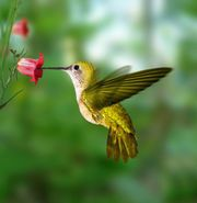The color red is the common denominator for flowers that attract hummingbirds.supplied A bird on the wing has found man looking up in envy, but a hummingbird by the feeder can stir up within him how awesome is his God....