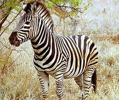 As zebras são mamíferos, membros da mesma família dos cavalos, os equídeos, nativos da África central e do sul. A pelagem deste animal consiste num conjunto de listras contrastantes de cor, alternadamente, pretas e branca, dispostas na vertical, exceptuando nas patas, onde se encontram na horizontal.