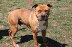 """Fabio: Beautiful boxer/pit mix is out of time at high-kill SC shelter. 5 year old Male.""""I need to be adopted today."""" http://www.examiner.com/topic/greenville-county-pet-rescue"""