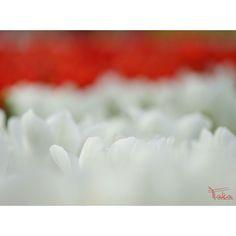 紅白 白と赤どっちが好きですか  #ハーブ庭園旅日記  #チューリップ  #α7  #SONY #カメラ好き #お写んぽ #写真撮ってる人と繋がりたい #写真好きな人と繋がりたい #ファインダー越しの私の世界 #yamanashi #team_jp_ #team_jp_東 #ICU_JAPAN #IGersJP #LOVES_NIPPON #nat_archive #wp_photo_club #Japan_Daytime_View #はなまっぷ #花見日和 #ザ花部 #team_jp_flower #9Vaga9 #9Flower9 #LOVES_FLOWERS_ #QuintaFlower #wp_flower by m_takatoh