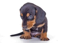 """Will you give me a hug?""....This Dachshund puppy found on fundogpics.com"