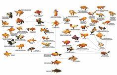 Fantail Goldfish : Photo