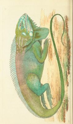 Iguana - v.7 - The naturalist's miscellany, or Coloured figures of natural objects - Biodiversity Heritage Library