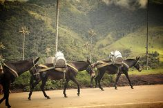 Mules and Mountains. Cocora Valley