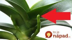 Pre všetkým, ktorým odkvitla orchidea: Toto je najjednoduchší, odskúšaný spôsob, ako ju opäť rozkvitnúť! Pergola Shade, House Plants, Flora, Home And Garden, Herbs, Gardening, Kids, Deodorant, Plants
