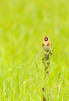 Goldfinch by amylewis.lincs, via Flickr