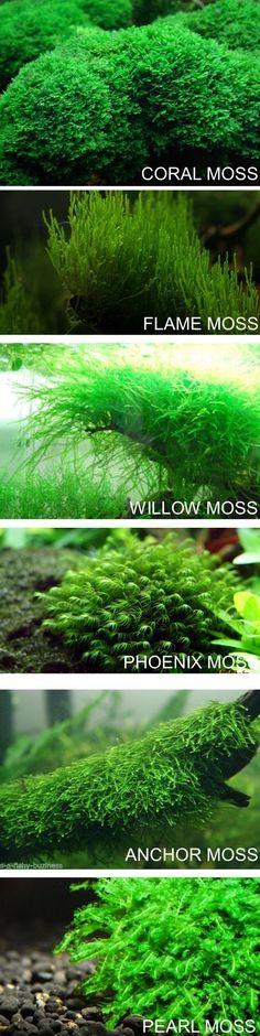 """nanocubism: """" 6 mosses you should have in your tank. """" Christmas Moss is another one of my favs. #AquariumIdeas"""