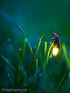 Oh gosh, my favorite the lightening bug! Love, love them but never see them around my home/