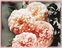 Awesome old world climber. Peachy color..Rosa English Rose (Abraham Darby)