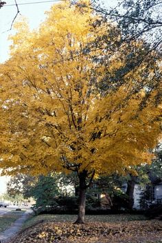 Sugar maple wonderful large tree slow growing shade tree for Slow growing trees for front yard