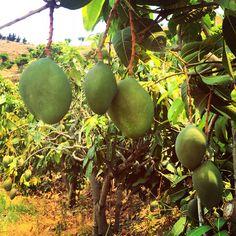 Muy pronto comenzará una nueva campaña de esta maravillosa fruta. Estos son Keitt y poco a poco irán cogiendo color. Se recolectarán en noviembre. #motril #mango #costatropical #5aldia #comefrutasyverduras www.mangosdelcielo.com