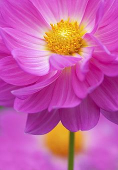 Beautiful pink dahlia by ajpscs All Flowers, Amazing Flowers, Beautiful Flowers, Flowers Nature, Dahlia Flower, My Flower, Macro Flower, Gras, Belleza Natural