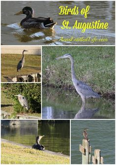 Birds of St Augustine - photographs of birds in St Augustine, early 2014. http://www.annsentitledlife.com/florida/birds-of-st-augustine/