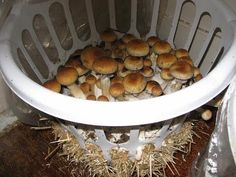 If you have some spare area in an outhouse or even in your cellar or garage, you can utilize it for mushroom growing, which are tasty, nutritious and a great source of organic protein. Remember that food that you grow yourself will al Growing Mushrooms At Home, Garden Mushrooms, Mushroom Spores, Mushroom Cultivation, Outdoor Oven, Home Grown Vegetables, Organic Protein, Led Grow Lights, Grow Your Own Food