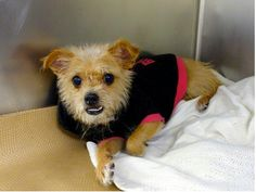 URGENT - Manhattan Center   TAYLOR - A0984527   FEMALE, TAN / WHITE, CHIHUAHUA SH MIX, 4 yrs  OWNER SUR - EVALUATE, NO HOLD Reason NO TIME  Intake condition NONE Intake Date 11/09/2013, From NY 10029, DueOut Date 11/09/2013  https://www.facebook.com/Urgentdeathrowdogs/photos_stream#!/photo.php?fbid=704348416244707&set=pb.152876678058553.-2207520000.1384107952.&type=3&theater