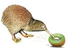 kiwi kivi :)