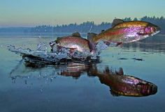 Colourful freshwater rainbow trout leap out of the water in a bid for freedom. The behaviour has very rarely been captured on camera and shows trout swimming away from predators so quickly that they breach the water's surface. Photographer Brian Pelkey spends days at a time on a lake patiently waiting for the perfect moment to snap the fish flying through the air. This photo was taken at dawn on one of the many ponds and lakes within the Adirondack State Park in Upstate, New York.