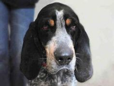 Elvis is an adoptable Bluetick Coonhound Dog in Aldie, VA. I'm a terrific boy with a personality to match. And I'm smart too, I already know how to sit, shake, and lie down. I can't say I'm a fan of c...