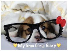 And another because AWWWW.   Meet The Two Most Emo #Corgis InTaiwan
