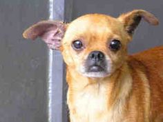 Dudley is an adoptable Pug Dog in Bonita, CA. Dudley is a neutered, 2-year-old Pug/Chihuahua, approximately 13 lbs! He is waiting to be your new best buddy! Please ask for ID Number� A1534150, Tag S71...