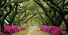 Mississippi Azalea and Tree Lined Drive Via French Sampler Cherry Lined Driveway Elm Lined Driveway Cyprus Pines to an Italian Vil...